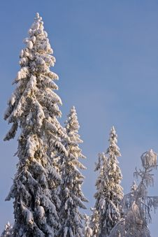 Free Spruce Trees Covered By Snow Royalty Free Stock Photo - 23593005