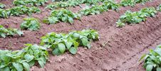Free Potato Plants Royalty Free Stock Photography - 23594077