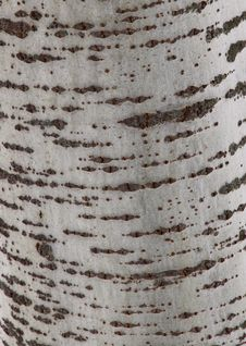 Free Tree Bark Texture Royalty Free Stock Image - 23595566