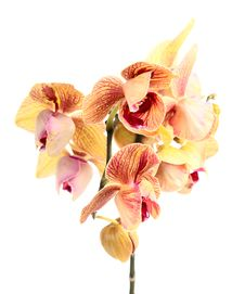 Free Orchid Royalty Free Stock Photo - 23598835