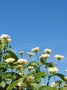 Free Lantana Flowers Stock Photos - 2364413