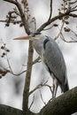 Free Grey Heron On A Tree Royalty Free Stock Photos - 2367538