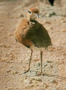 Free Temminck`s Courser 2 Royalty Free Stock Photos - 2368288