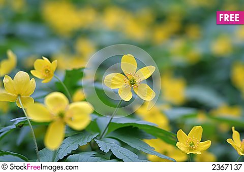 Free Small Yellow Flowers Royalty Free Stock Photography - 2367137