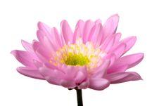 Free Pink Daisy Petails Stock Photos - 2360083