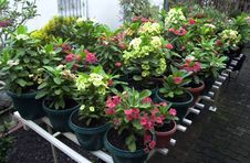 Free Euphorbia Garden Stock Images - 2360114