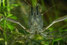 Freshwater Shrimp Stock Images