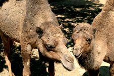 Free Mother And Child Dromedary Stock Image - 2360521