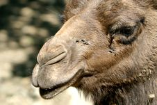 Free Portrait Of A Dromedary Stock Photography - 2360612