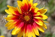 Free Aster Red, Yellow Royalty Free Stock Photo - 2360935