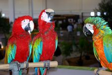 Free Three Parrots Royalty Free Stock Photo - 2361345