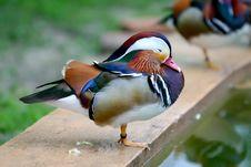 One Leg Mandarin Duck Royalty Free Stock Image