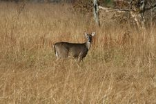 Free Doe In The Meadow Grass Royalty Free Stock Image - 2362586