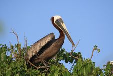 Free Pelican Perching On Tree Royalty Free Stock Image - 2362596