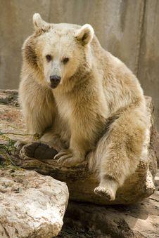 Free Bear Royalty Free Stock Photography - 2363097