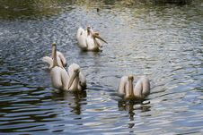 Free Pelicans Royalty Free Stock Photography - 2363707