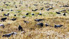 Pigeons Reap A Crop Stock Image