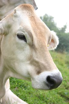 Free Cow Close-up Stock Photo - 2366140