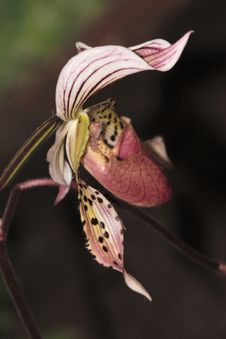 Free Paphiopedilum Orchid Royalty Free Stock Photos - 2366228