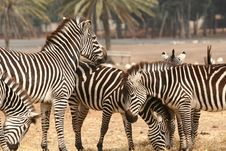 Free Zebras Royalty Free Stock Photography - 2366487