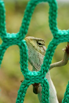 Free Lizard And Net Royalty Free Stock Images - 2367239