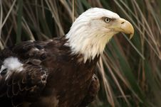 Free American Bald Eagle Royalty Free Stock Image - 2367356