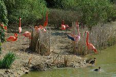 Free Pink Flamingos Stock Photo - 2367970
