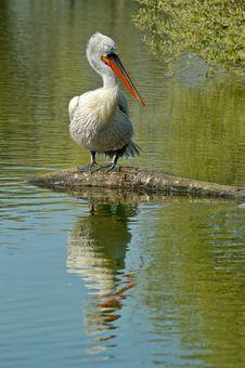 Free White Pelican Royalty Free Stock Photos - 2367978