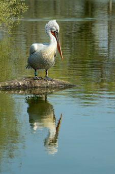 Free White Pelican Stock Image - 2367981