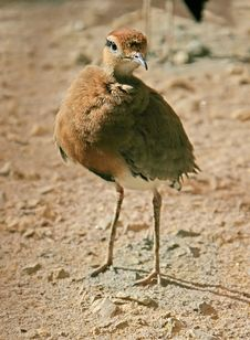 Temminck`s Courser 2 Royalty Free Stock Photos