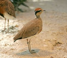 Free Temminck`s Courser 3 Royalty Free Stock Images - 2368299