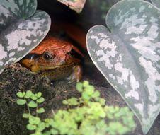 Free Tomato Frog 1 Royalty Free Stock Photo - 2368515