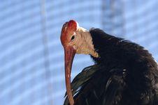 Free Waldrapp Bald Ibis Royalty Free Stock Photos - 2368598