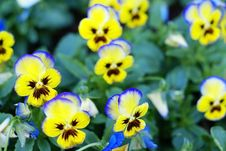 Free Yellow Flowers With Blue Edges Royalty Free Stock Images - 2368659
