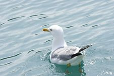 Free Seagull Royalty Free Stock Image - 2368836
