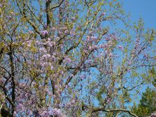 Free Wysteria Vines Royalty Free Stock Image - 2369766