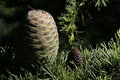 Free Pine Cone Stock Photography - 23600282