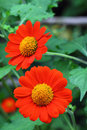 Free Zinnia Flower Stock Photos - 23609133
