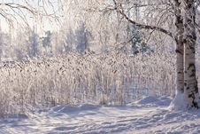 Free Winter Lake With Frozen Reed Royalty Free Stock Images - 23608389