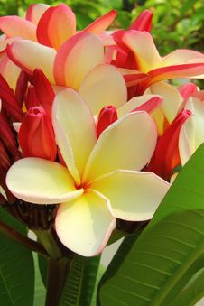 Free Plumeria Flower Stock Photography - 23609142