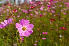 Free Pink Cosmos Flowers Stock Image - 23609611