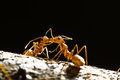 Free Red Weaver Ants Royalty Free Stock Images - 23616189