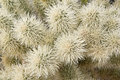 Free Cholla Cactus Close-up Royalty Free Stock Photography - 23617327