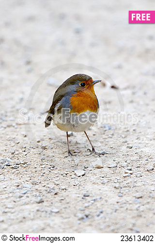 Free Robin Stock Photography - 23613402