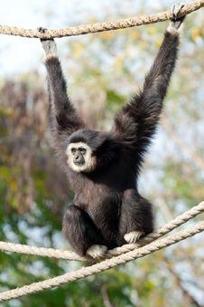 Free Gibbon Monkey Stock Image - 23610891