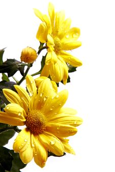 Free Yellow Chrysanthemums Stock Photo - 23613000