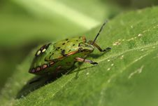 Palomena Prasina Bug Stock Photo