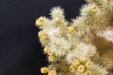 Cholla Cactus Profusion Royalty Free Stock Images