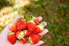Free Strawberries Royalty Free Stock Images - 23617759