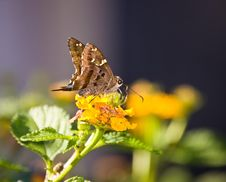 Free Butterfly On Lantana Royalty Free Stock Photo - 23617765